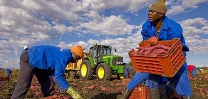 africa-farming-sweet-pota-002